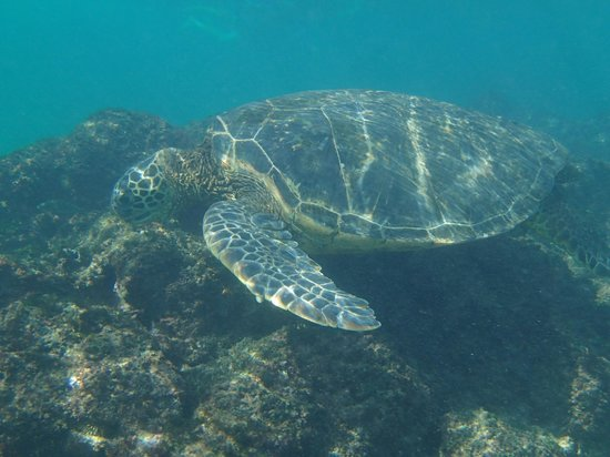 Napili Beach: Turtle swimming around