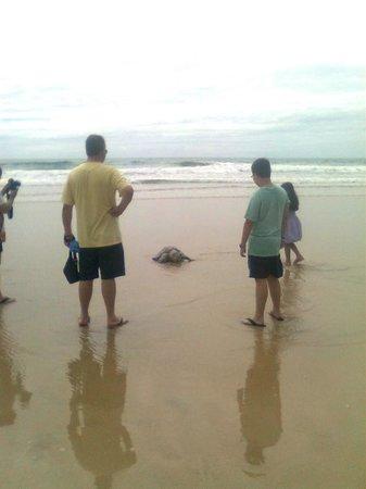 Praia De Maracaipe: praia do cupé desova de tartaruga