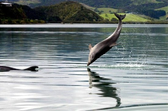 Dolphns are frequent visitors to Whangaroa Harbour.  Photo courtesy Tony Foster