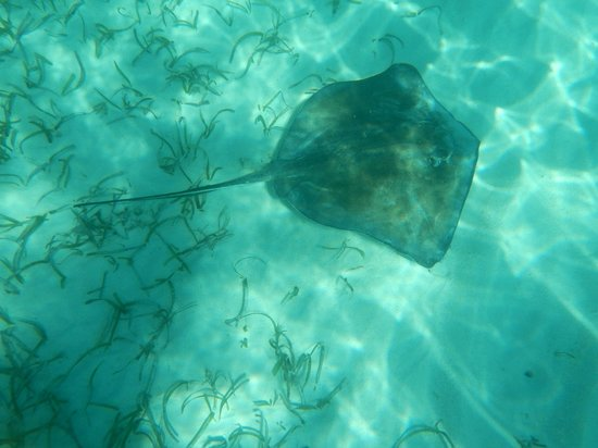 Shark Ray Alley : Southern Sting Ray
