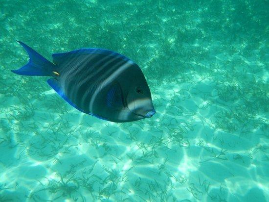 Shark Ray Alley: Blue Tang
