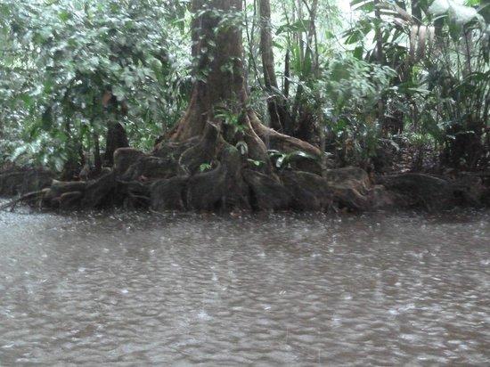 Tortuga Lodge & Gardens : Visite guidée d'un canal (et ses caimans)