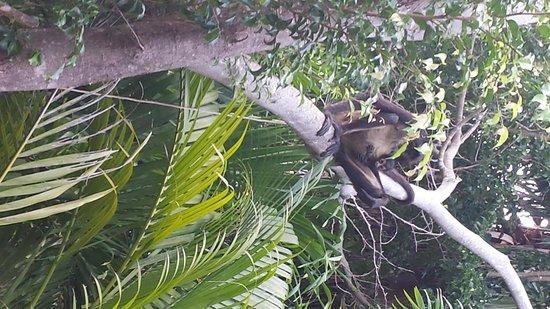 Viceroy Riviera Maya: Family of spider monkeys