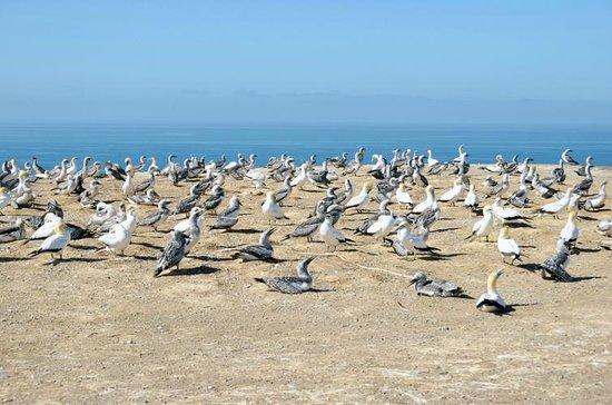 Gannet Colony: Gannet Safari