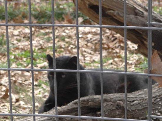 National Tiger Sanctuary: panther