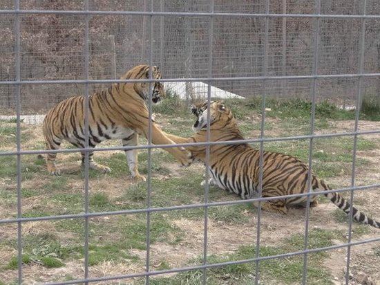 National Tiger Sanctuary: the brothers playing