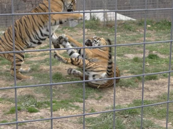 National Tiger Sanctuary: brothers playing