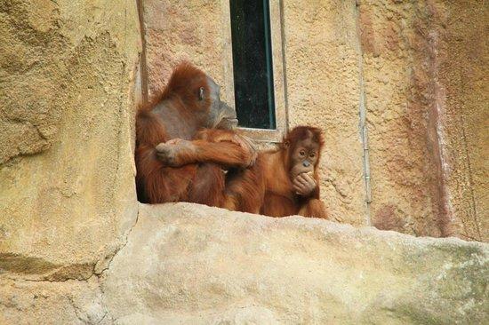 Zoologischer Garten Leipzig: Sumatra-Orang-Utan