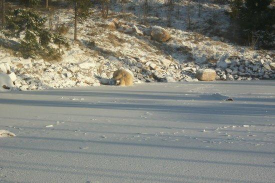 Orsa Bjornpark: polar bear playing with the ball