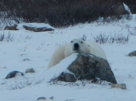 Great White Bear Tundra Lodge: Polar Bear resting on the rock right in front of the living room.