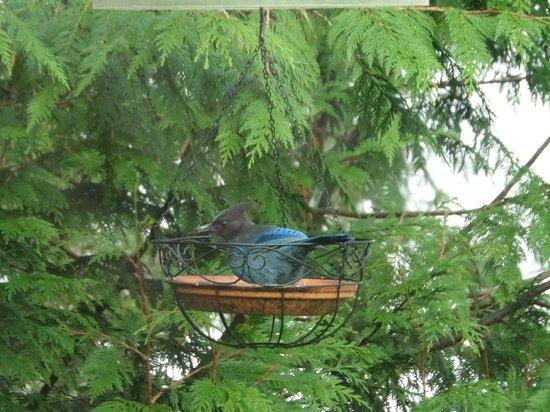 The Inn at Mallard Cove: The birds! (Stellar Jay)