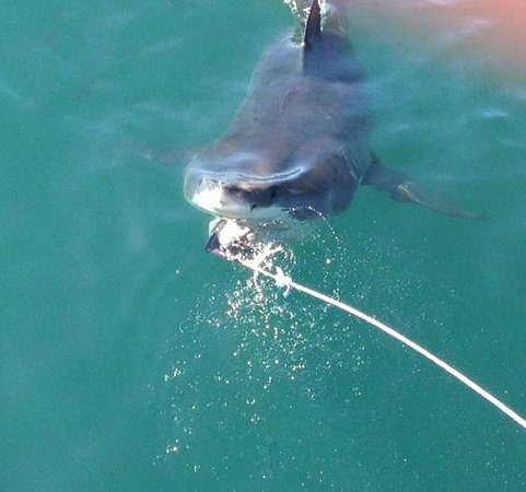 Great White Shark Tours : Fantastic Day