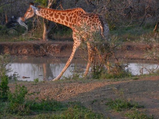Amakhosi Safari Lodge: Giraffe am Wasserloch