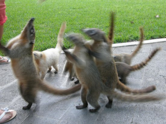 From the resort picture of clubhotel riu tequila playa del carmen - Coatis Vorace Sur Le Site Riu Tequila Photo De Clubhotel