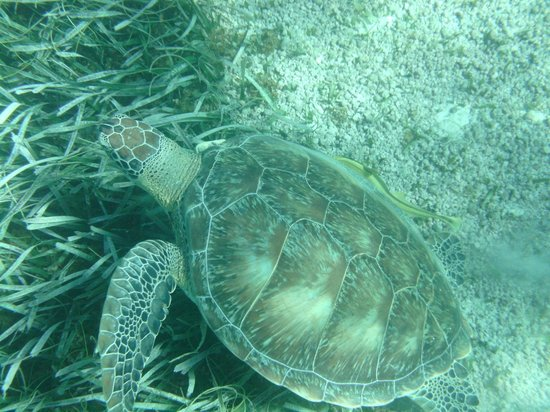 Shark Ray Alley: sea turtle in belize