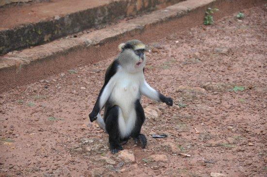 Boabeng-Fiema Monkey Sanctuary : Mona monkey