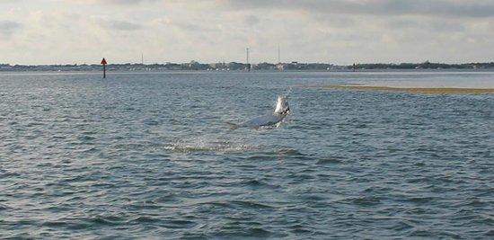 AWS Charters, Key West Flats Fishing : Jumping tarpon