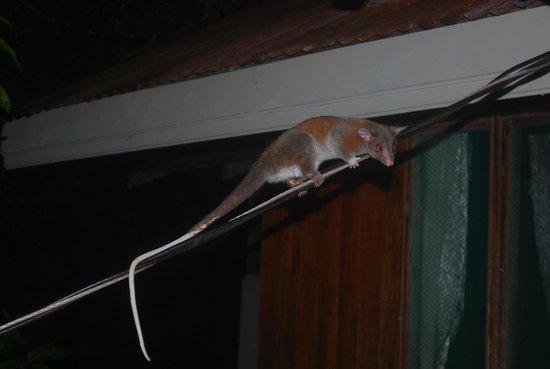 Casa Horizontes Corcovado : opossum