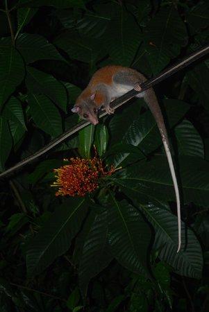 Casa Horizontes Corcovado: opossum