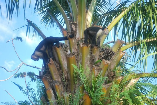 Casa Horizontes Corcovado : white-faced capuchins