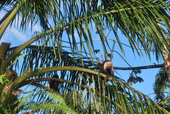 Casa Horizontes Corcovado : white-faced capuchins