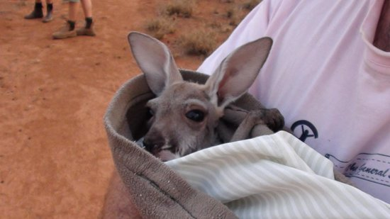 The Kangaroo Sanctuary: Joey in pouch