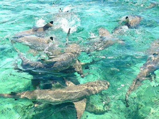 Shark Feeding Picture Of The St Regis Bora Bora Resort