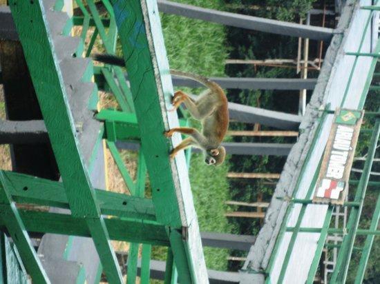 Ariau Amazon Towers Hotel: Macaco de Cheiro