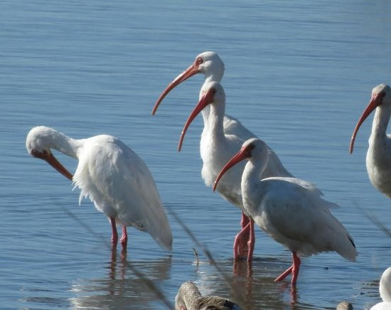 Hatteras Island, Carolina do Norte: white ibis (I believe)