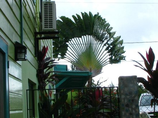 Casa Placencia Belize: the beautiful fan palm at Casa Placencia