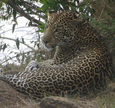 Mara Intrepids Luxury Tented Camp : Lazy Leopard