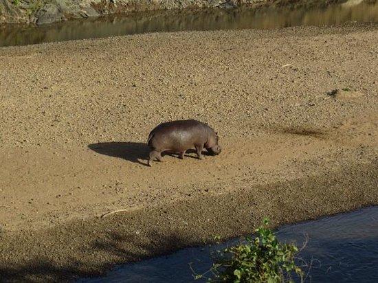 Mara Intrepids Luxury Tented Camp : Strolling hippo