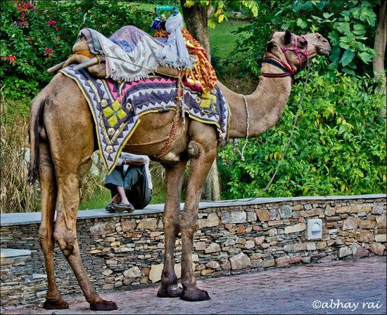 Trident Udaipur: Camel Ride in the hotel