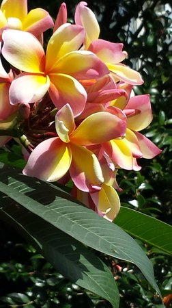 Naracoopa Bed & Breakfast & Pavilion: Stunning Frangipani flowers outside our veranda