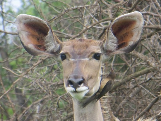 Leopard Mountain Game Lodge: Greater kudu and Oxpecker