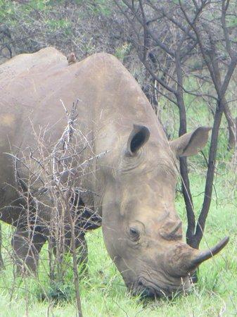 Leopard Mountain Safari Lodge : White Rhino (never saw the black!)
