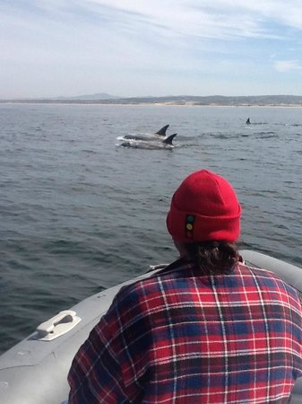 Monterey Bay National Marine Sanctuary : Rizzo Dolphins in the Bay
