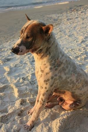 Sai Kaew Beach Resort: One of the local stray dogs