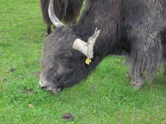 Johns Bavarian Tours: Buffalos