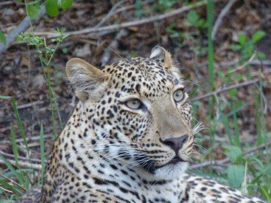 Mfuwe Lodge - The Bushcamp Company : leopard