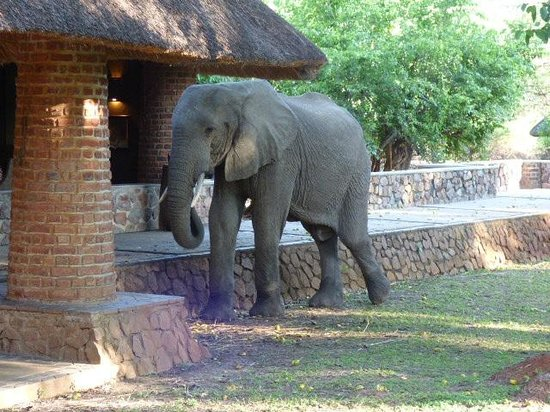 Mfuwe Lodge - The Bushcamp Company: elephant in repception