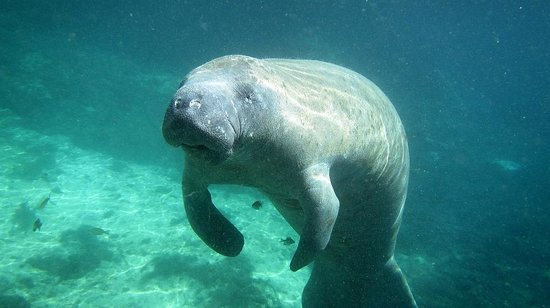 Fun 2 Dive Scuba, Snorkeling and Manatee Tours: Manatee we've seen with Fun 2 Dive