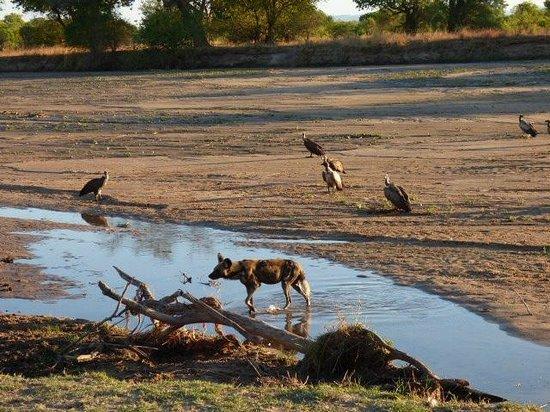 Mfuwe Lodge - The Bushcamp Company: wild dog