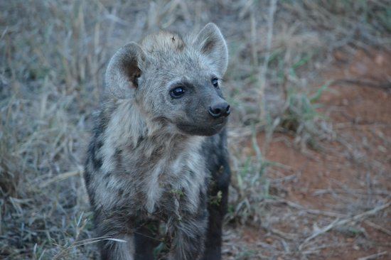 Garonga Safari Camp: Curious baby hyena