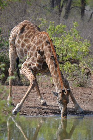Garonga Safari Camp: Giraffe bending down to drink