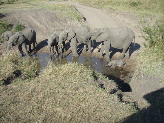 Basecamp Masai Mara: En stor elefantflokk der minstemann ikke hadde lært å bruke snabelen ennå
