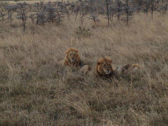Basecamp Masai Mara: Løvene var veldig tett på oss og heldigvis mette og fornøyde.
