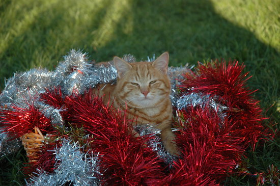 Agriturismo Tara : Christmas cat