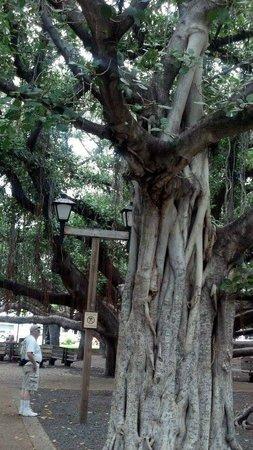 Banyan Tree Park : Banyon tree