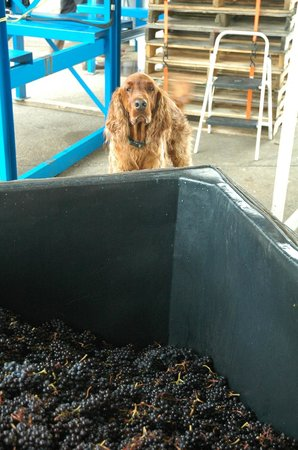 Airlie Winery: Rocky overseeing harvest